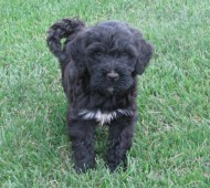 Adult Portuguese Water Dog Ontario