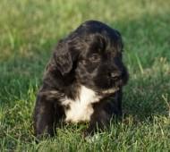 Portuguese Water Dog Ontario Price