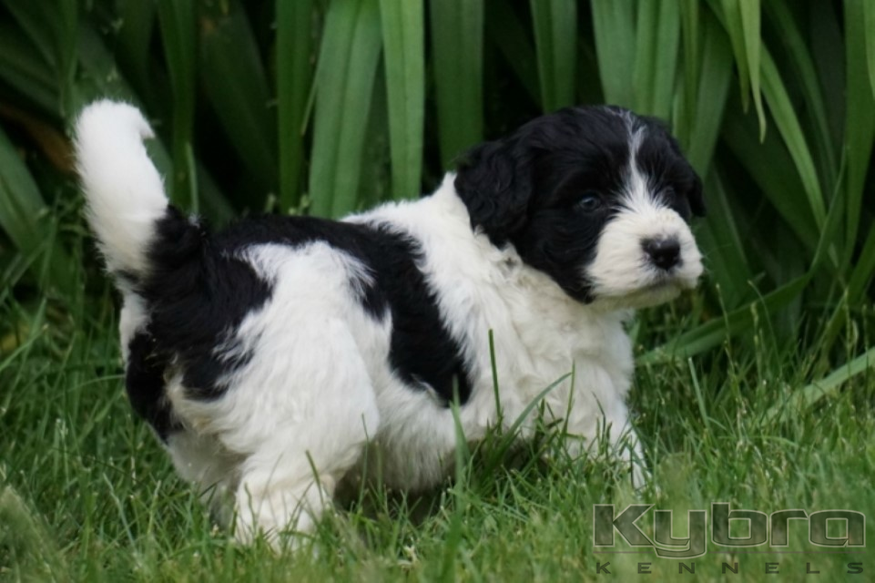 Portuguese Water Dog & Siberian Husky Puppies for Sale ON