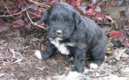 Oreo & Rum's son Tamber of Toronto, ON at 3 1/2 weeks