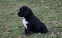 Rumples & Prescott's daughter Sammi of Dundas, ON at 7 weeks