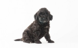 Fredrika & Buster's son Dax of Paradise, NL at 6 wks