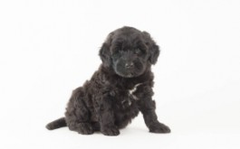 Fredrika & Buster's son Micky of Whitby, ON at 6 wks