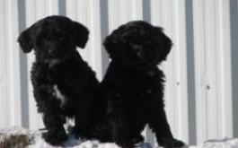 Cadela & Levi's males born 11/28/11, 8 weeks