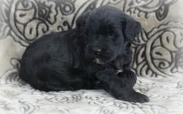 Cadela & Levi's son Kingston of Chatham, ON at 4 weeks