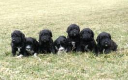 Fredrika & Rum's puppies at 4 weeks old