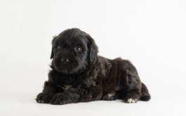 Pernilla & Buster's daughter Maudie of Kitchener, ON at 4.5 wks