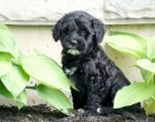 Cinder & Prescott's daughter Baily of Dundee, OH at 6.5 wks