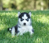 Registered Purebred Siberian Husky Puppies For Sale Ontario