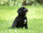 Cinder & Prescott's daughter Oakley of Dundee, OH at 8 wks