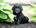 Cinder & Prescott's daughter Oakley of Dundee, OH at 6.5 wks