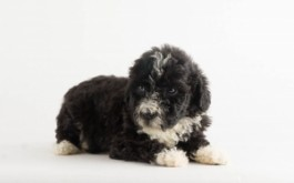 Pernilla & Buster's daughter Nosa of Goderich, ON at 4.5 wks