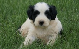 Bay & Rum's daughter Mona of Oakville, ON at 4.5 weeks