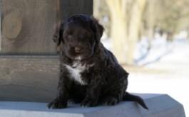 Sassy & Buster's daughter Marlei Lawrenda of Kincardine, ON at 5 weeks