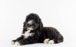 Kinley & Prescott's daughter Lucy of Milton, ON at 7 wks