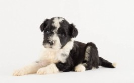 Krisco & Buster's son Dice of Toronto, ON at 4.5 wks