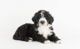 Pernilla & Buster's son Wallace of Kitchener, ON at 6.5 wks