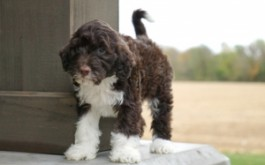 Cordelia & Rum's son 2124 of Dundee, OH at 7 wks