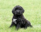 Fredrika & Rum's son Max II of Mississauga, ON at 7 wks