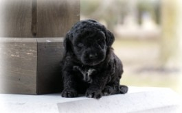 Fredrika & Rum's son Max II of Mississauga, ON at 4 wks
