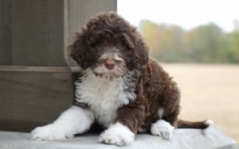 Cordelia & Rum's son Huckleberry of Chomedy Laval, QC at 7 wks