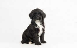 Cinder & Prescott's son Scout of LaSalle, ON at 7 wks