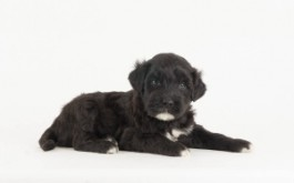Fredrika & Buster's son Micky of Whitby, ON at 4 1/2 wks