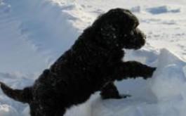 Belza's puppy 2010