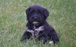 Oreo & Rum's daughter Olive of Toronto, ON at 5 wks