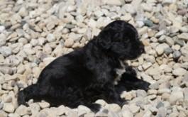 Oreo & Rum's daughter Annie of Fergus, ON at 4 weeks