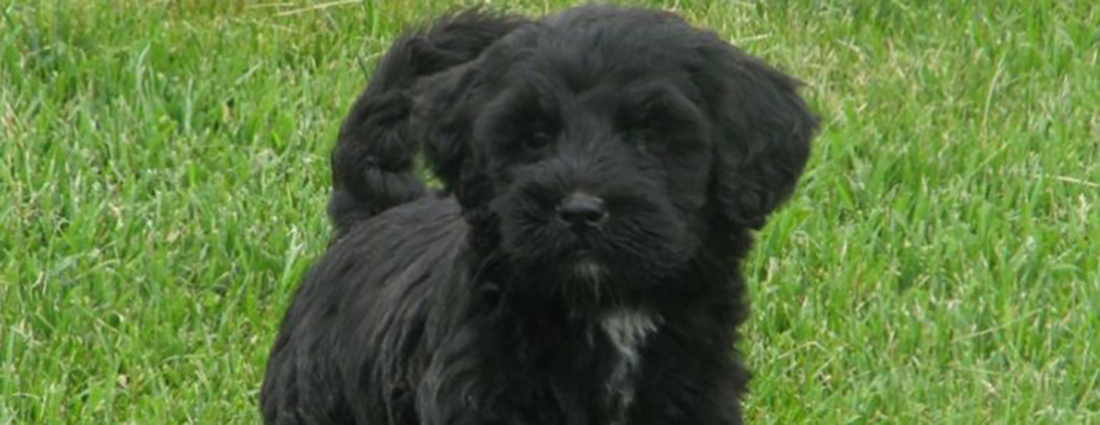 Portuguese Water Dog Puppies Available & For Sale Ontario