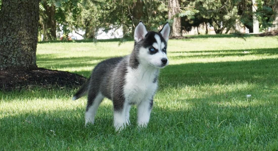 Kybra Kennels Siberian Husky Puppies